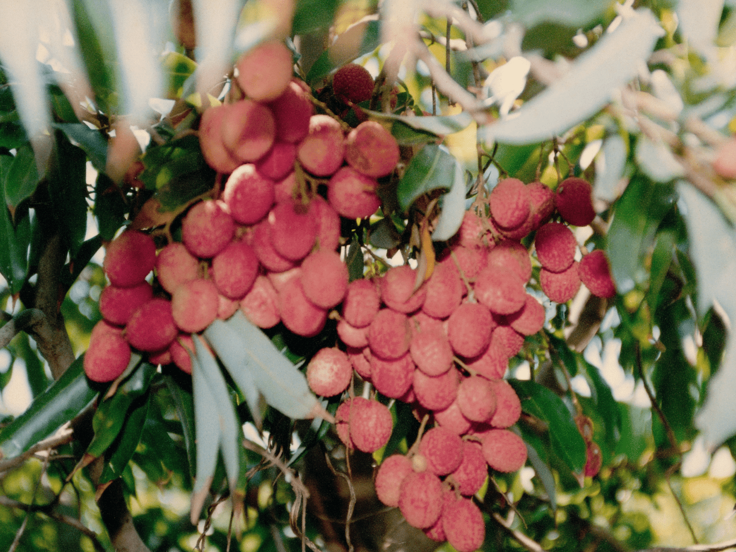 Lychee Production in Three Years