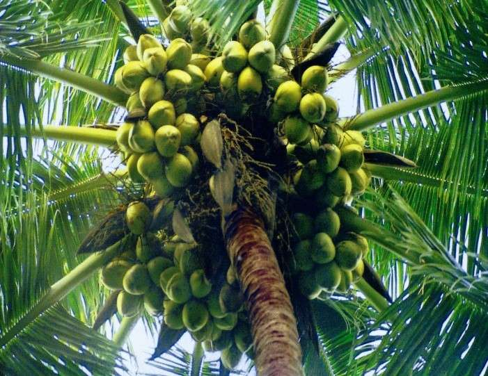 World Highest Production of Coconut with Zero Input